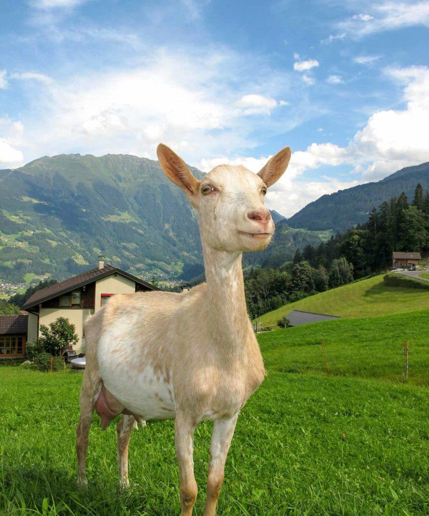 Cabra roubada no campo